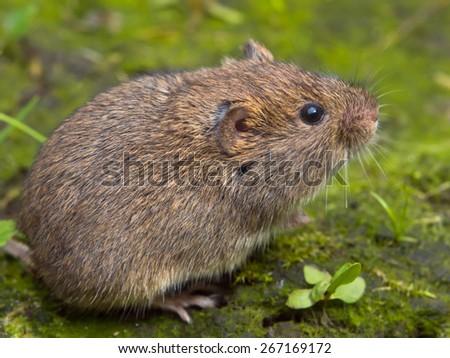 Vield vole (Microtus agrestis)  sitting - stock photo