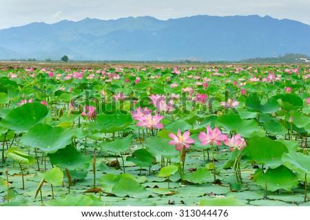 Vietnam flowers, lotus flower bloom in pink, green leaf on water