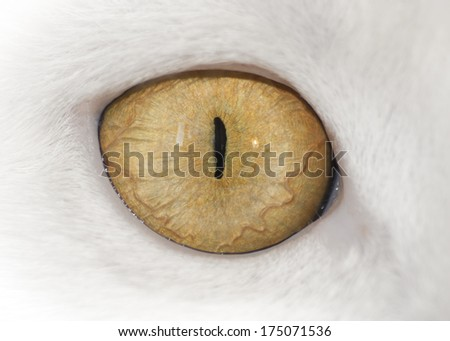 View. Cat eye. Close-up muzzle a cat  - stock photo
