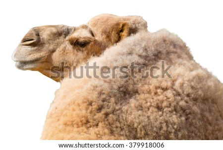 View from back of dromedary camel isolated on a white background - stock photo