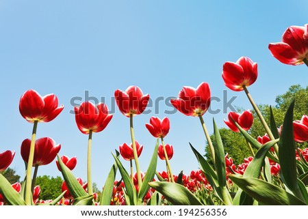 view from below of ornamental red tulips on flower field on blue sky background