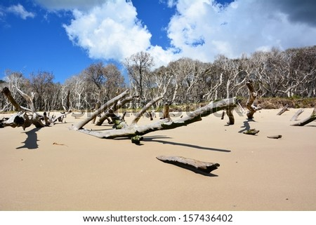 View from below on mangrove trees on the beach of North Stradbroke Island in Queensland, Australia - stock photo
