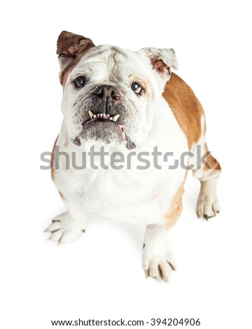 View looking down on Bulldog breed dog with underbite and teeth showing - stock photo