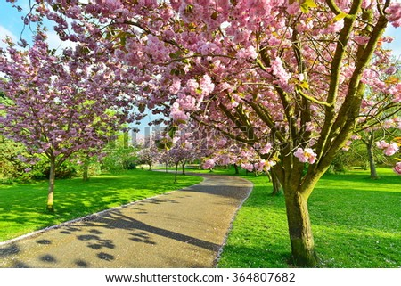 View of a Cherry Tree in Blossom Lining a Pathway through a Beautiful Garden in Spring - stock photo