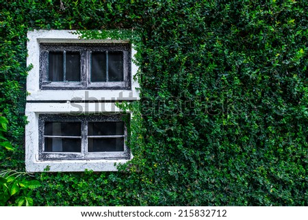 View of a closed window and of a wall covered with ivy - stock photo