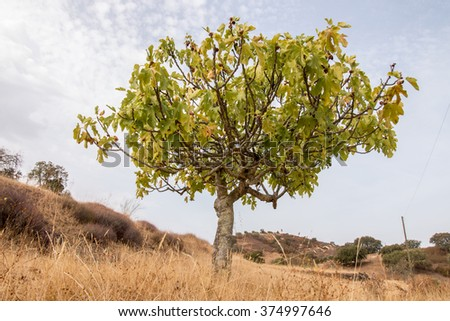 View of a dry landscape with a fig tree in Martim longo, Portugal.