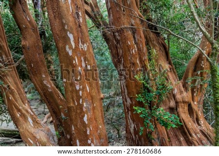 View of a forest of Arrayan trees (Luma apiculata - Chilean Myrtle) near Bariloche, Argentina - stock photo