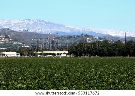 View of a strawberry field with snow montains in the background.