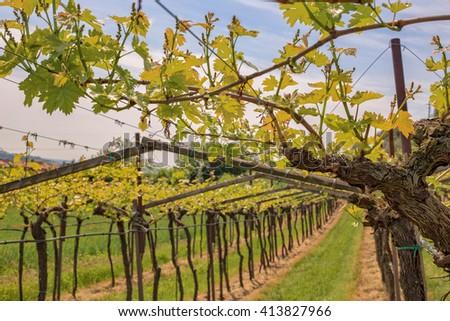 View of a typical vineyard called Veronese pergola, Valpolicella, Amarone wine region - stock photo