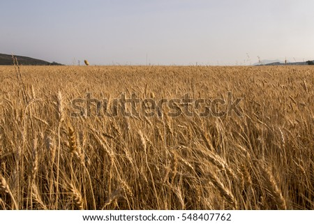 View of a wide wheat field plantation.
