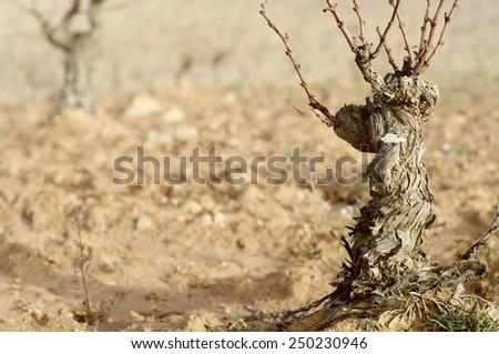 View of a winter vineyard, Munebrega, Zaragoza, Aragon, Spain - stock photo