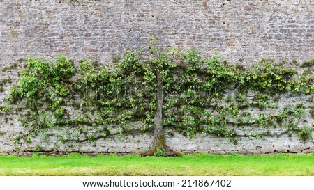 View of an Old Pear Tree (Pyrus communis) Grown against a Stone Wall - The Horticultural Process is Known as Espalier  - stock photo