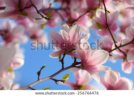 view of beautiful magnolia with blue sky background  - stock photo