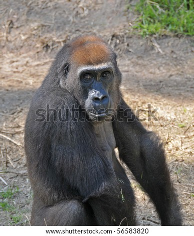 View of big black chimpanzee in a Zoo