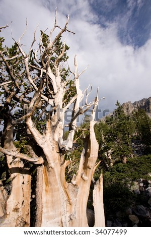 View of Bristlecone Pine tree and mountain peak in background in Great Basin National park, Nevada, USA.