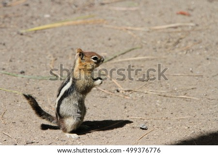 View of chipmunks at bend wildlife preserve, bend, oregon
