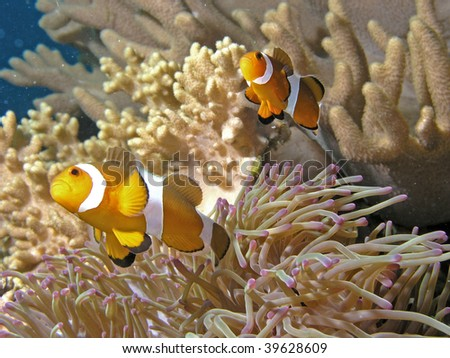 View of clown fishes swimming around a coral plants - stock photo