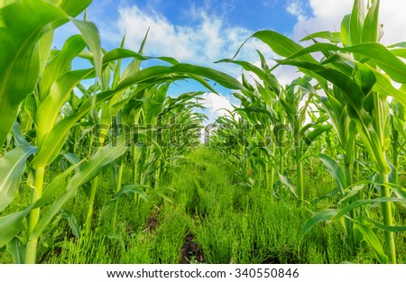 View of corn field and blue sky in summer day - stock photo