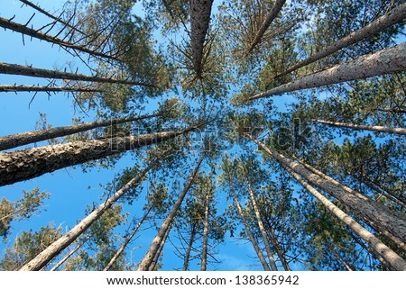 view of high trees from below, blue sky - stock photo