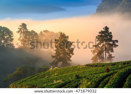 View of morning mist at strawberry field on December to January in every year, Doi Ang Khang , Chiang Mai, Thailand.