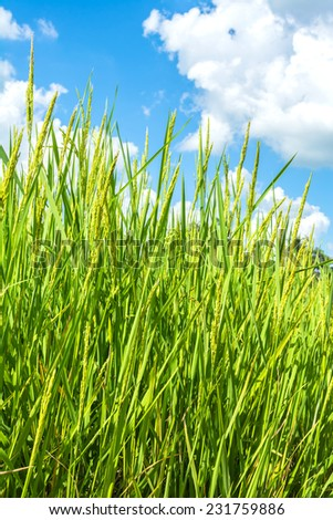 view of rice field with the sky - stock photo