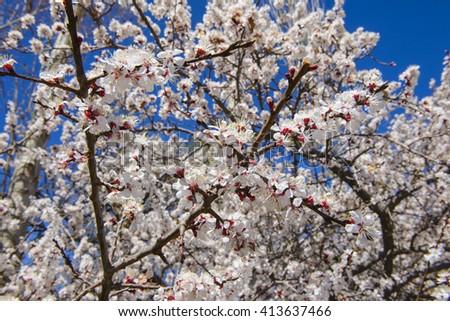 View of sakura with blue sky - stock photo