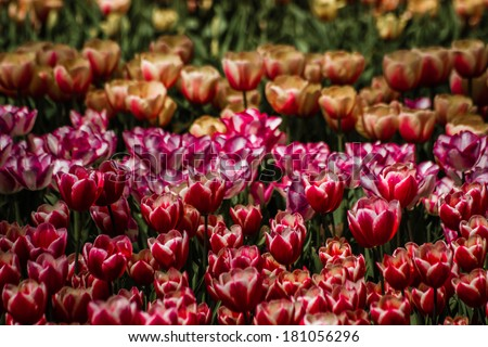 View of spring field full of colorful tulips in bloom