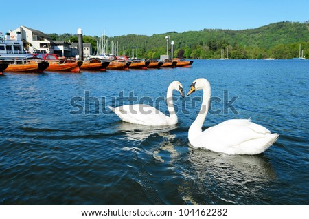 View of swans in Lake Windermere at Bowness Lake District National Park Cumbria England - stock photo