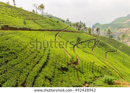 View of the great tea fields in Sri Lanka and its famous tea plants