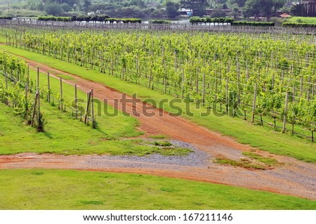 View of the green vineyards in Thailand - stock photo