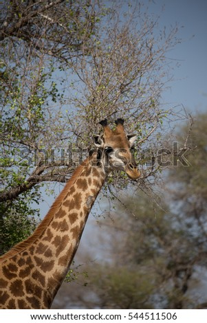 View of the long neck of a giraffe in Kruger National Park, South Africa.