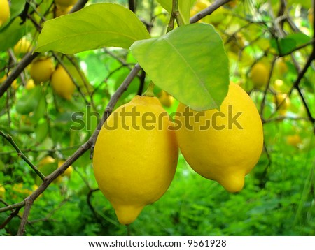 view of two lemons hanging on a lemon tree, surround by foliage.