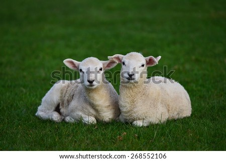 View of Two Spring Lambs in a Lush Green Field - stock photo
