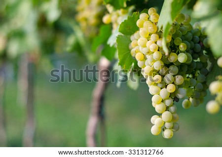 View of vineyard row with bunches of ripe white wine grapes. Wonderful photo with selective focus and space for text. - stock photo