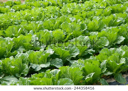 view of well ripe chinese cabbage field - stock photo