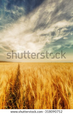 View of wheat ears and cloudy sky with shining