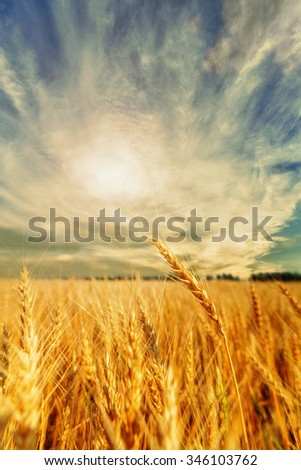 View of wheat ears and cloudy sky with shining - stock photo