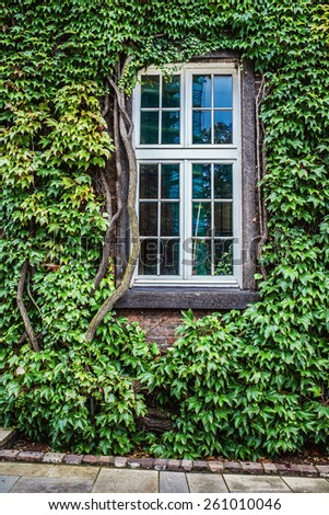 View of windows and of a wall covered with green ivy - stock photo