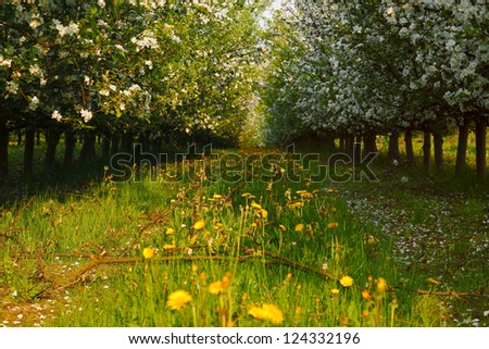 View of young apple orchard with flowers, evening, spring, Saarland / Germany - stock photo