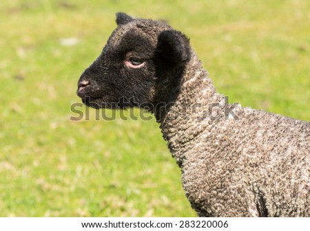 View of young lamb from Shropshire sheep breed in welsh meadow
