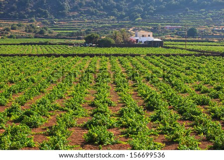 View of zibibbo Plantation in Pantelleria - stock photo