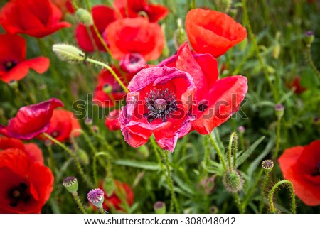 View on a detail in Meadow with beautiful bright red poppy flowers in spring. - stock photo