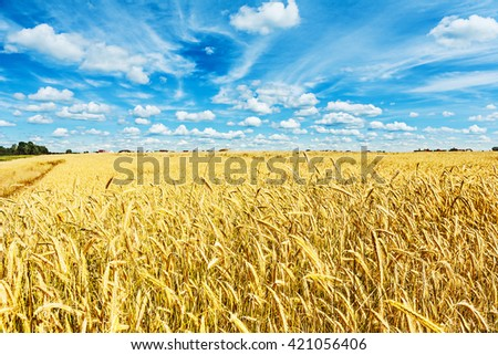 view on field of wheat and beauty cloudy blue sky.
