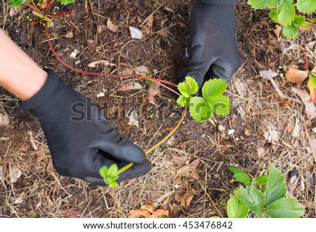 view on gardener hands in protective gloves planting new strawberry plant from fresh runner into soil  - stock photo