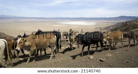 View on the Ngorongoro Crater over a herd of cow