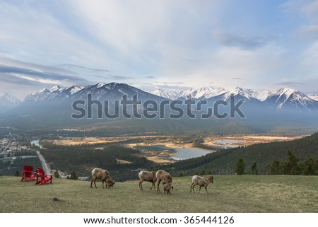 view point of banff national park with sheep and charis, canada. - stock photo