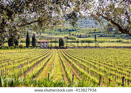 View through two olive trees in a typical Italian vineyard - stock photo