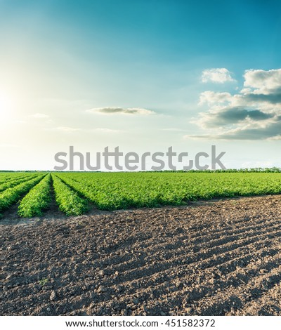 view to agricultural fields with tomatoes in sunset time