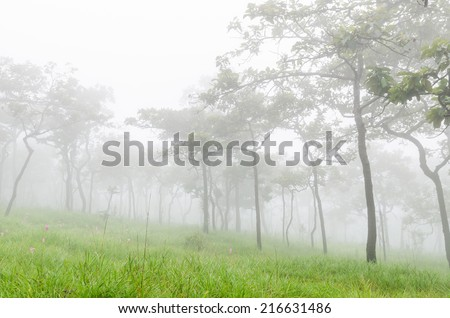 View Tree and flower Wild siam tulip blooming of forest on Morning Mist at Tropical Mountain Range after rain fall at Pa Hin Ngam National Park, Chaiyaphum Province, Thailand - stock photo