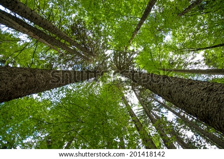 View up at the crowns of trees in an old wood - stock photo